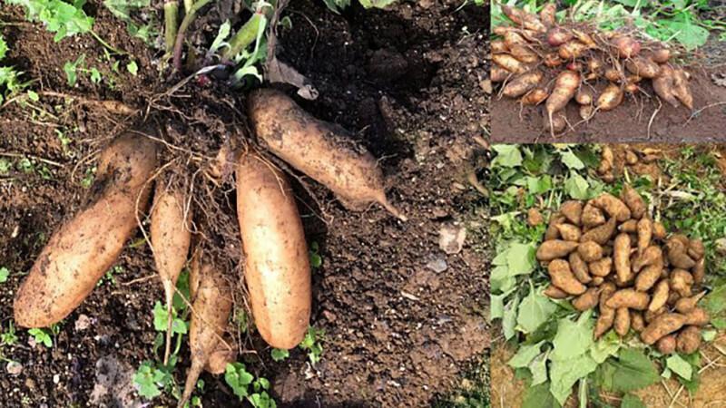 Giới thiệu củ khoai sâm đất
